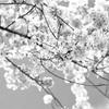 近場でお花見。林試の森公園の桜