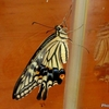 日本 アゲハチョウの羽化