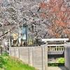 日本一の桜回廊と言われる「見沼桜回廊」、「見沼代用水西」沿いを桜ウォーク!!