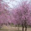 長岡にある悠久山公園に桜を見に行った