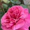 【MyGarden】1年目のAlive(アライブ)開花中【薔薇】