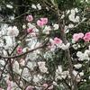 花桃の源平咲き