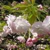 桜・・・散りはじめ