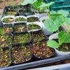 【週末家庭菜園】草刈りしたあとカボチャの定植。家庭菜園の様子