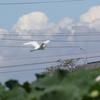 浮島を飛ぶチュウサギ