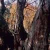 京都北山 ― 井ノ口山ウラスギ群生地の秋