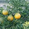 柑橘事業進捗 デコポン(不知火)