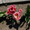 花びらがギザギザ