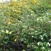 「マダム倶楽部」活動報告 初めて見た山吹の白い花 4月20日