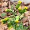 黄色の花の雑草たち