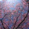 ハナミズキの咲くころ。。