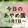 【あやめまつり】今日のあやめ園~6月7日~