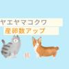ヤエヤマコクワ ブリード法【産卵数アップ】