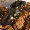 ブリード)好結果!20頭の幼虫割出に成功 キンオニクワガタ(WF1)