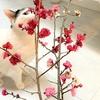 梅の花でお家時間を幸せに