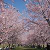 早咲き桜!坂戸市北浅羽の安行寒桜の見頃、混雑状況、アクセスは?【埼玉】