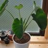 スーパーの里芋を水耕栽培で育ててから14週目(サトイモ・観葉植物)