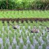 田んぼに降りるムラグロとキョウジョシギの群れ