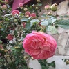 世界最大のバラの産地でバラまつり!