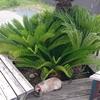 看板猫シャム 日陰を求めて