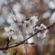 十月桜を撮ってきました。