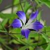 🌞変わり種の朝顔が綺麗に咲きました☺