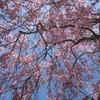 村上市中継集落に咲く100本の桜はオススメ!!