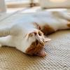 【猫学】短足マンチカンにおすすめの床