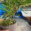 芽切り前に、ほったらかしていた黒松の枝の整理