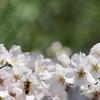 熊野神社の桜は6分咲き&にぎやかチューリップ&巣箱を設置&牛後さんありがとう♪