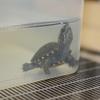 トウブドロガメ、子亀成長記  8