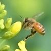 🌸権現堂堤で動画撮影したミツバチをコマ抜きしました🐝