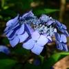 宗吾霊堂へ紫陽花を見に行ってきました