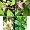 ムラサキシキブ,ホウライムラサキ,マンリョウの花:秋に小さな実がなる木々の花たちが,満開です.小さくて目立ちませんが.青ジソやスペアミントなどとは系統的には遠いものの,ムラサキシキブはシソ科の植物.知りませんでした.