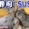 【YouTube 投稿】ハムスター🐹ハム寿司!シャリとなったハムスターがめちゃかわいい…♪エビ、マグロ、たまごハムスター#46