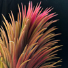【Tillandsia ionantha 'Curly Giant'】その後