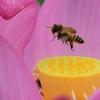 ✿不忍池とミツバチと水滴の中の風景💧