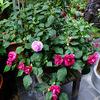 冬越しに成功!バラ咲きインパチェンスとベゴニア・ボンボリーナ  ~ わが家の花たち ~
