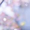 ガラス戸に花びら:散り初めた河津桜
