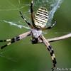 自宅庭の大きなクモ
