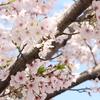 東京ディズニーリゾートと桜