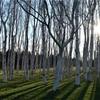 【一日一枚写真】黄昏の白樺林【一眼レフ】