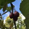 ムラピ山の植物(Deles indahにて)(1)