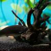 アフリカンナイフフィッシュ Xenomystus nigri