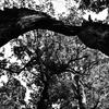 中国山地のブナ林②モノクローム