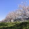 iPhoneで桜を撮るんだったら、こんな感じはいかがでしょう