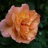 庭のバラ。。。