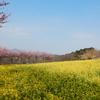 神奈川県足柄上郡大井町篠窪 菜の花と桜