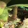 洋蘭たちの花芽