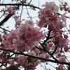 河津桜(河津)